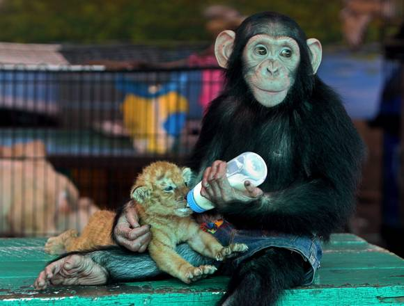 Cute Monkey Bottle Feeding Baby Tiger